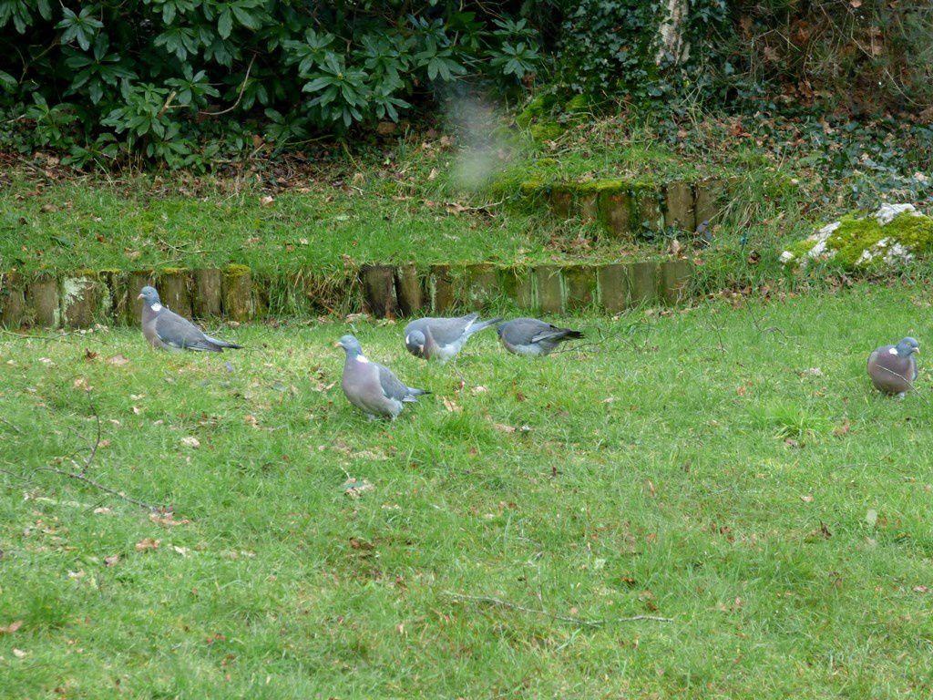 Les pigeons attaquent