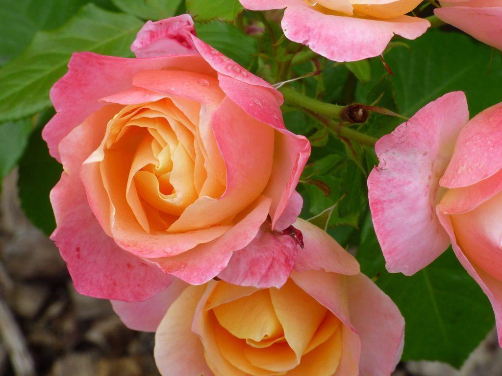La roseraie Ste Anne