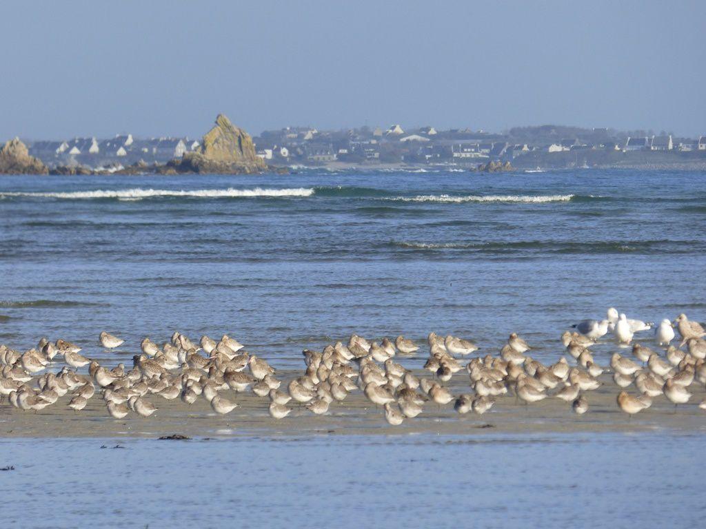 Retour des migrateurs en baie de Plouneour Trez
