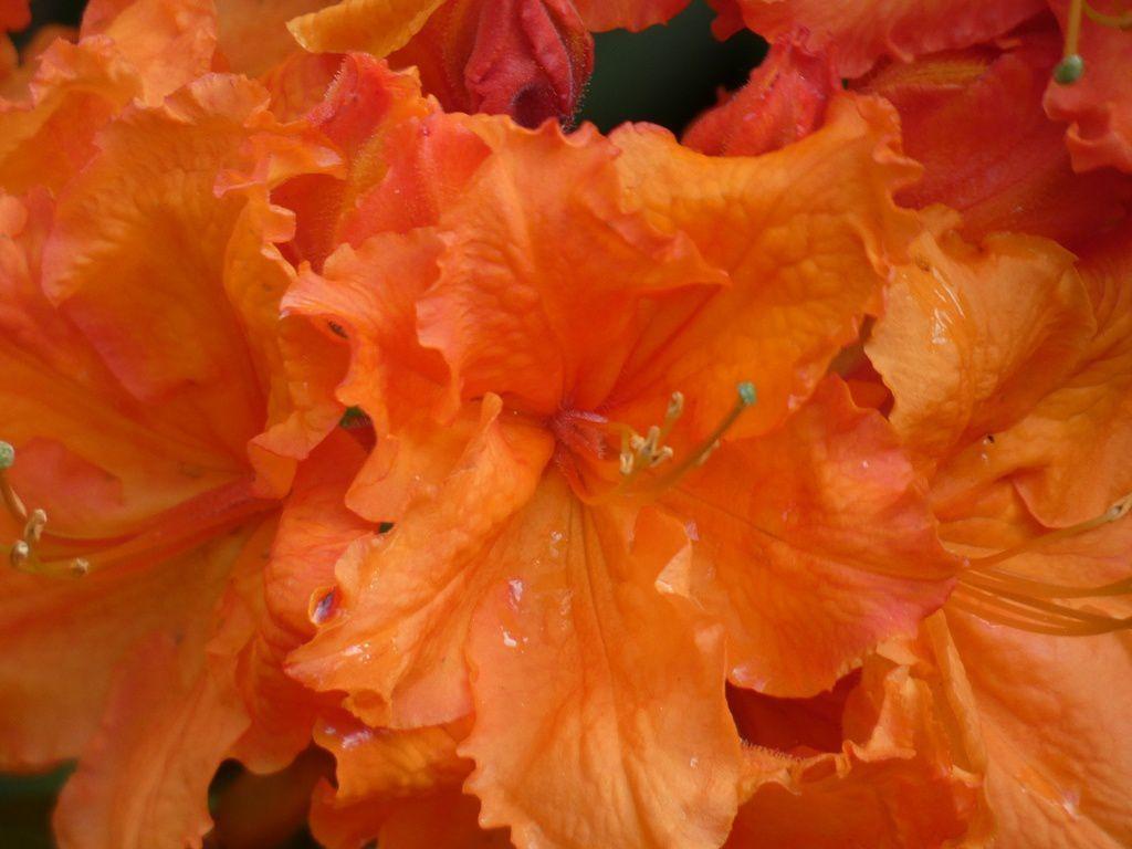 Richesse des coloris, perfection des fleurs, chaque étape de la floraison apporte sa part d'émotion