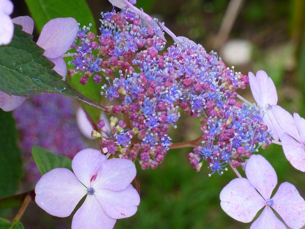 Les hortensias du jardin