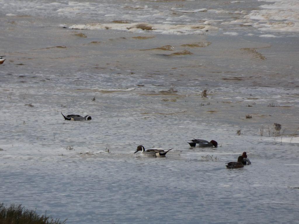 Vanneaux huppés, canards pilets et siffleurs, sarcelles d'hiver, courlis et autres limicoles dans la baie de Goulven