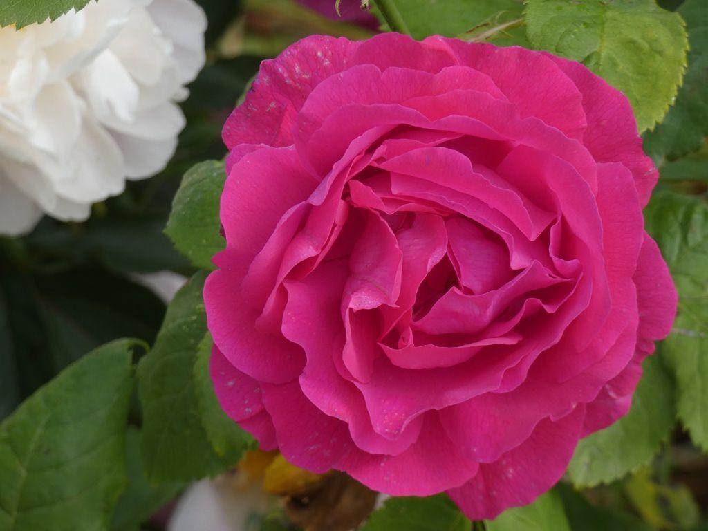 En mai, allons sentir les roses