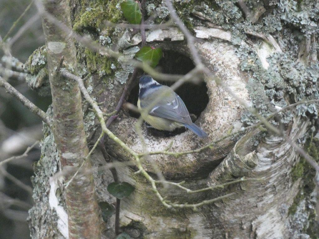 Les mésanges préparent leur nid