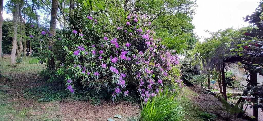 Et les rhododendrons et azalées tout autour de la maison.