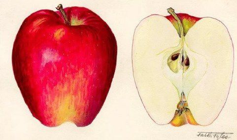 Aquarelle d'une pomme Stark Delicious - Faith Fyles