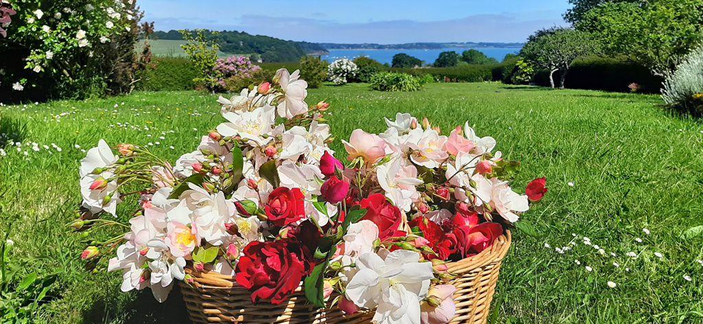 Le jardin de roses de Maman est à son optimum pour préparer les bouquets pour l'ehpad....