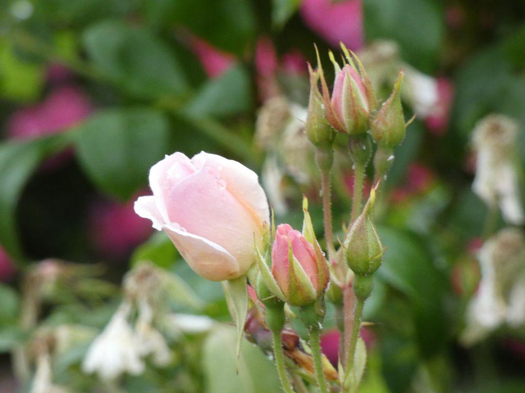 Des roses pour Maman