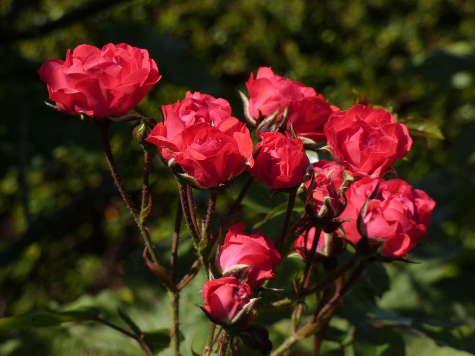 Les roses nous offrent une deuxième floraison