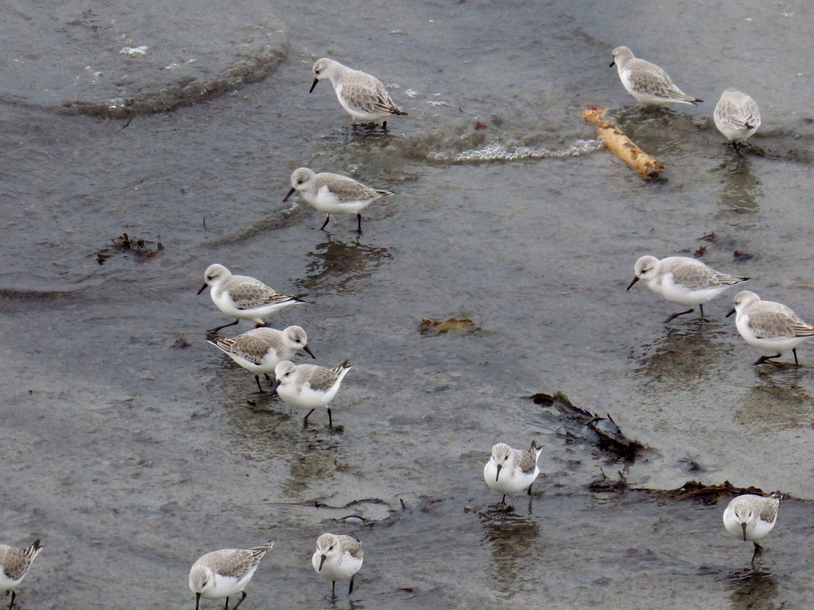 Un requin et des Sanderlings