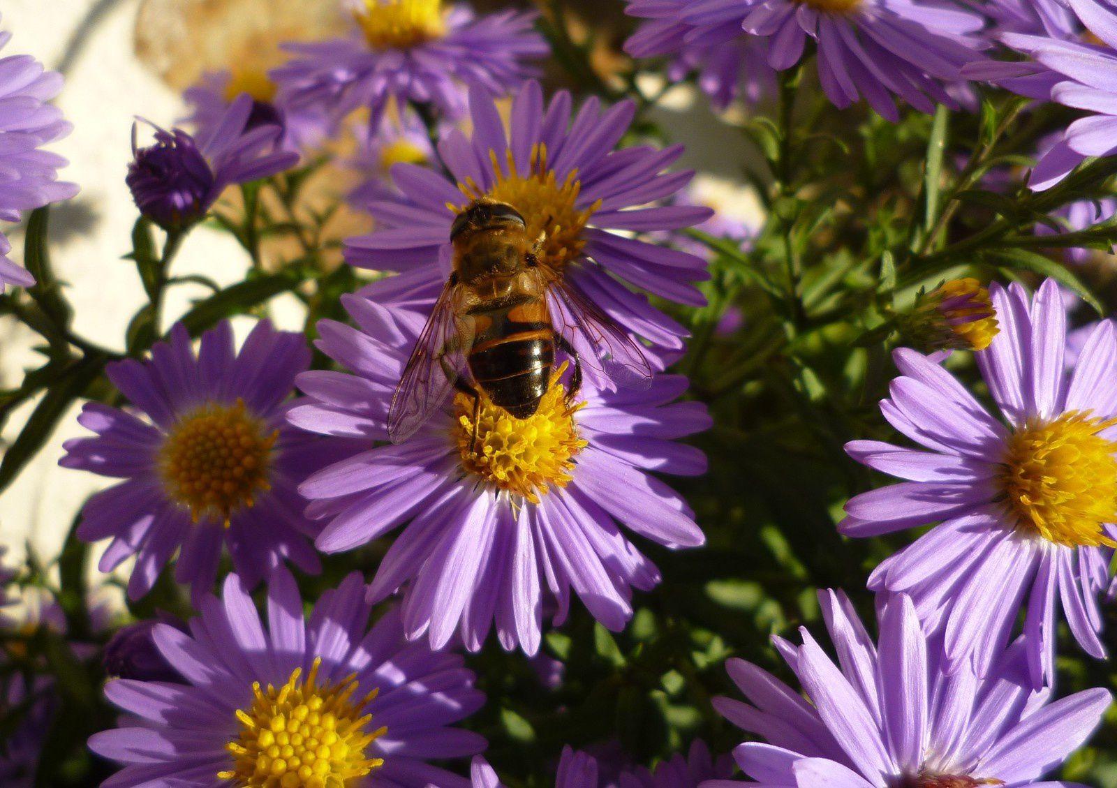 les abeilles butinent encore