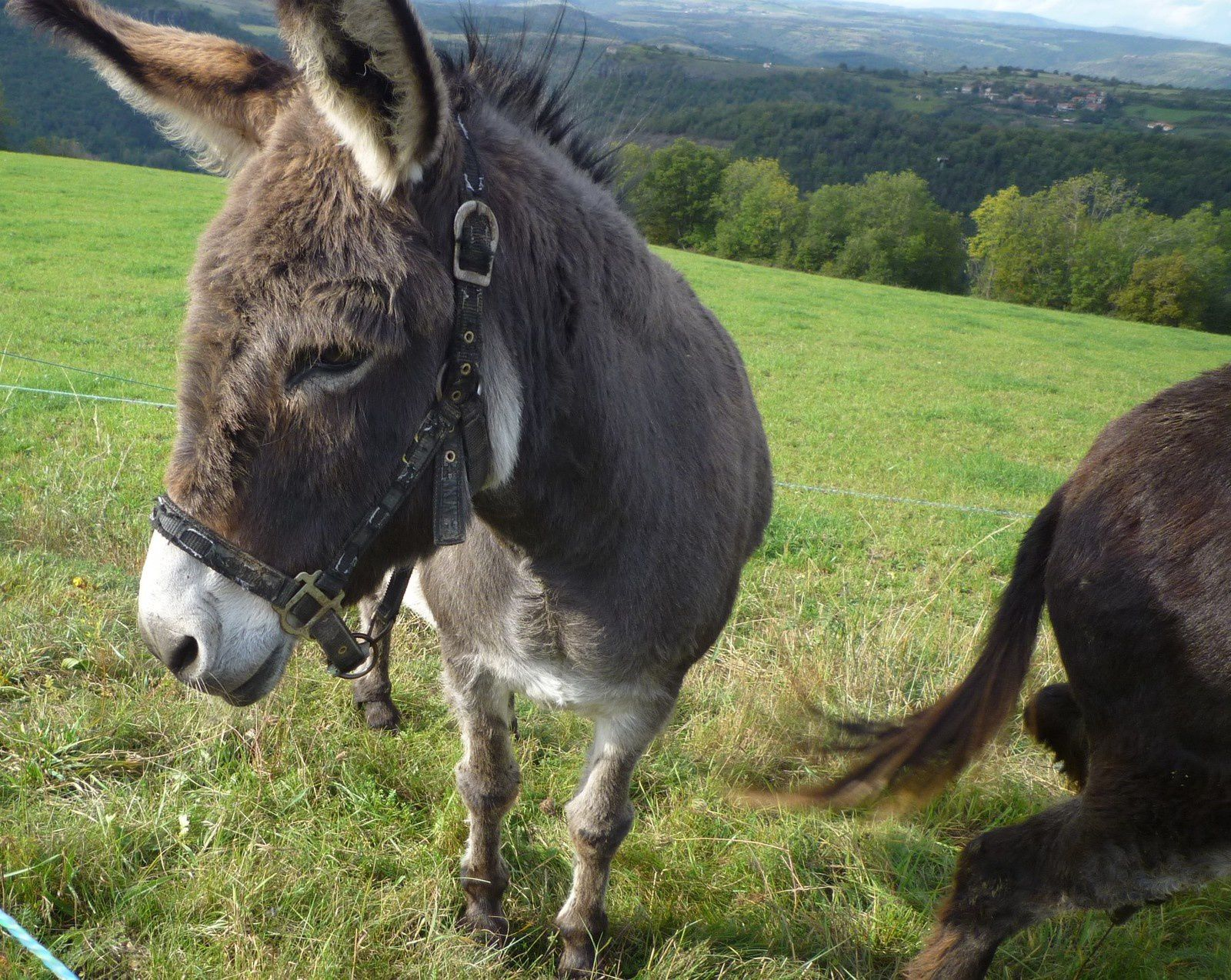 Massiac un âne sympa