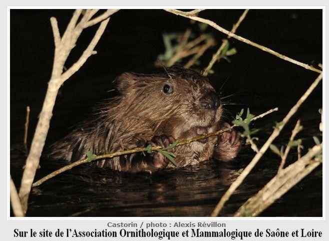 Un jeune castor, espèce bien présente en Saône-et-Loire