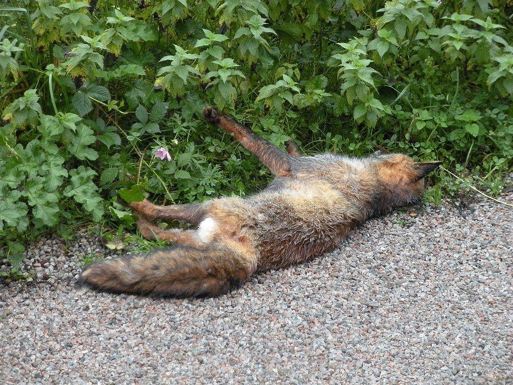 Dans la même matinée,  les dépouilles de deux renards au bord de la route.