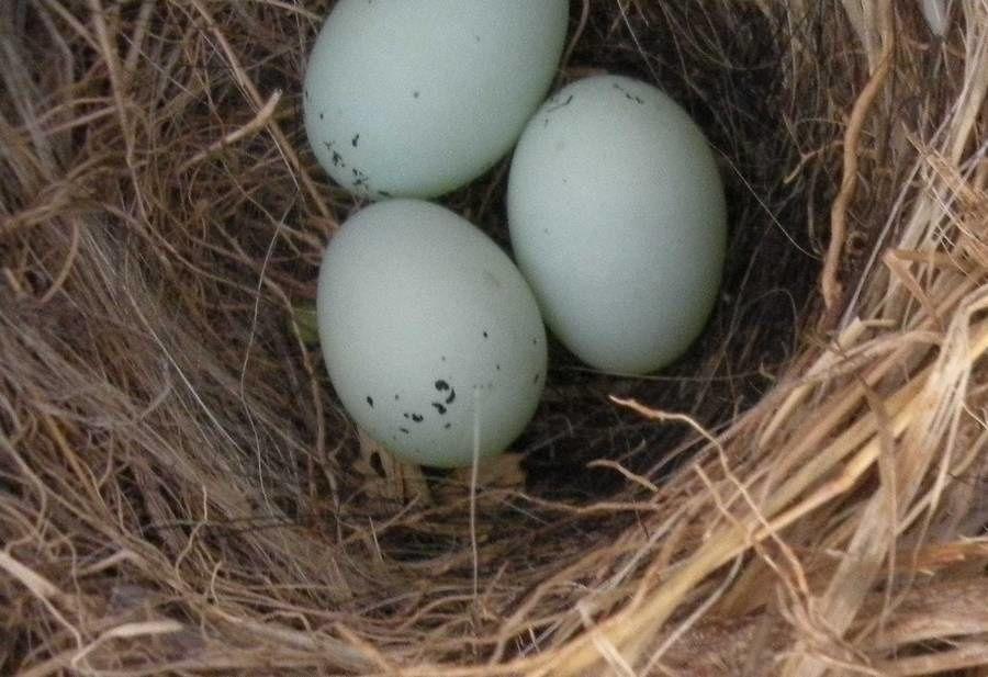 Dans le nid cuernavacense de Roselins, l'oiselle couve trois oeufs