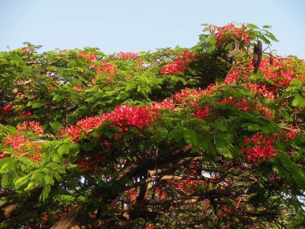 Flambloyant rouge en haut, et Grevillea robusta en bas, magnifiques couleurs qui embellissent les villes.