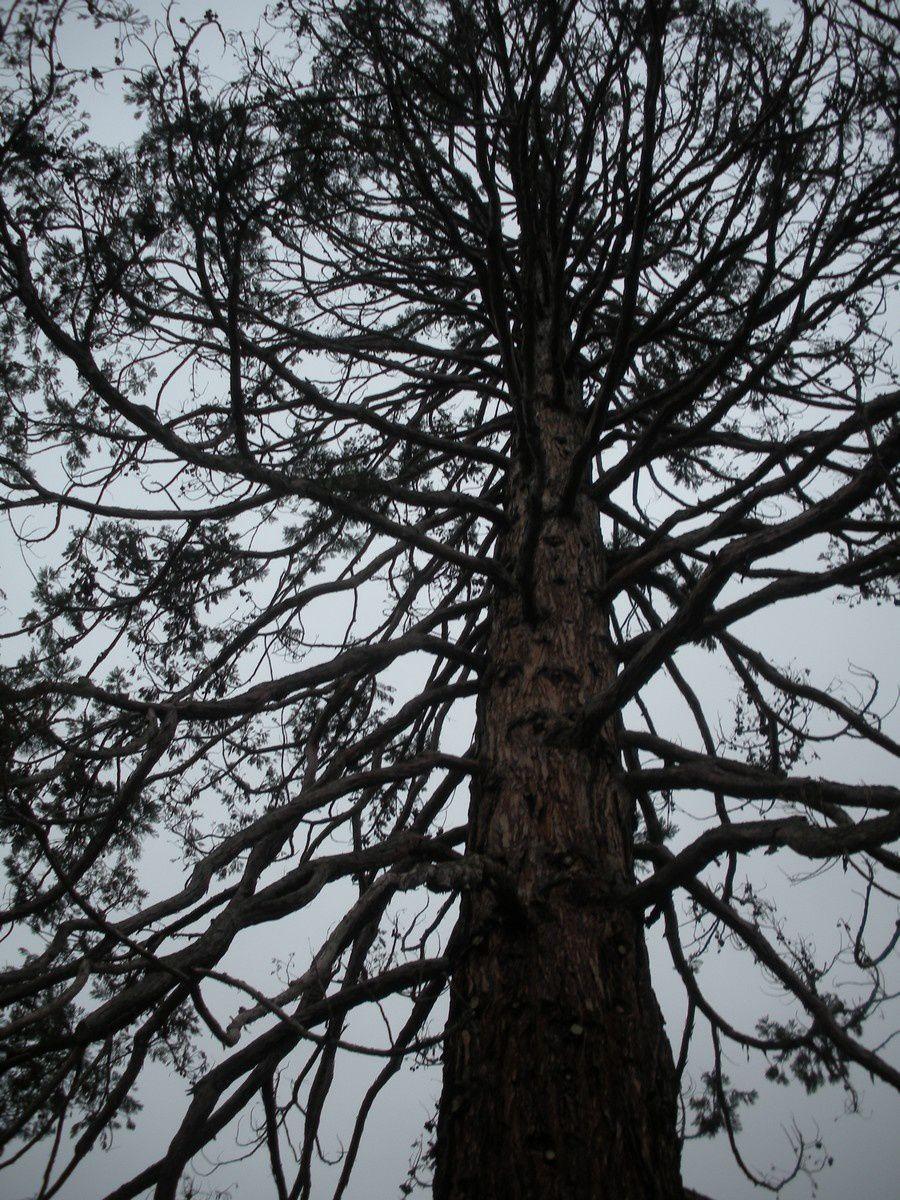 """Le """"séquoia"""" géant trouvera-t-il de l'eau à l'instar du """"sec oyat"""" ?"""