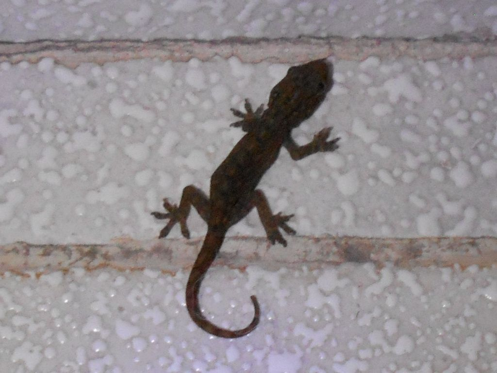 Quand le gecko ou gekko s'invite à la maison... et dans le jardin