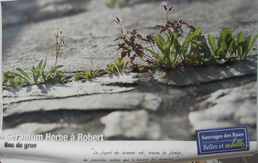 Belles et rebelles : A préserver ces herbes sauvages des rues croissant en milieu naturel urbain