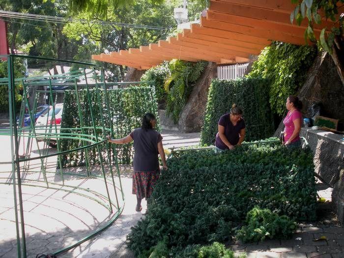 Le sapin de Tlaltenango : il est en train de pousser !
