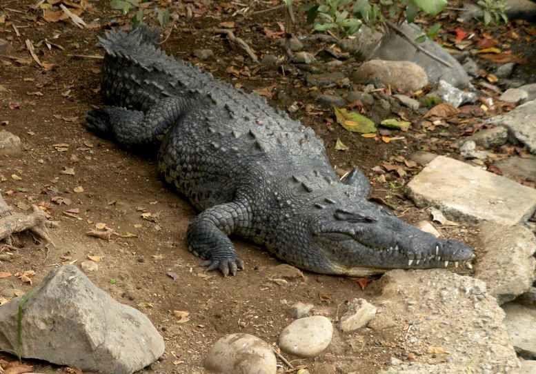 Ixtapa : oiseaux et reptiles en leur milieu naturel, admirables pélicans !