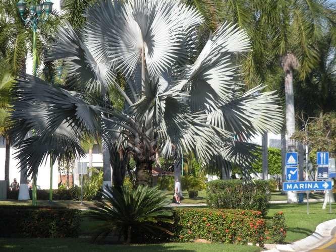 Les palmiers d'Ixtapa qui chatouillent l'azur