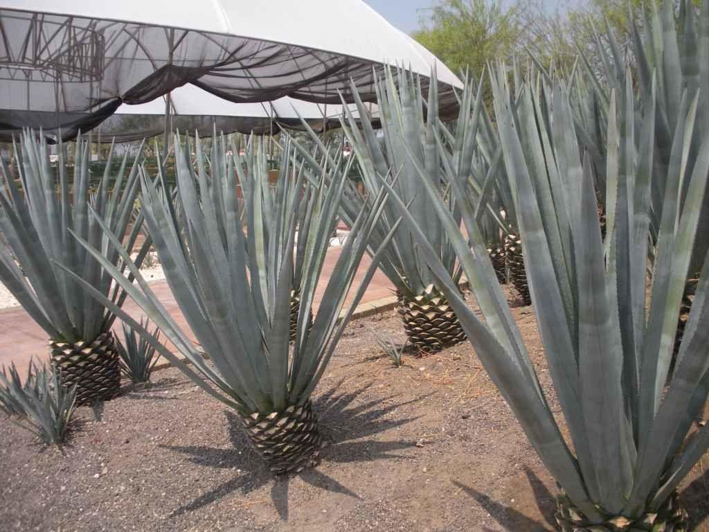 Contrairement à Dutronc, aux Jardines il n'y a pas qu'des cactus, même s'ils sont des milliers