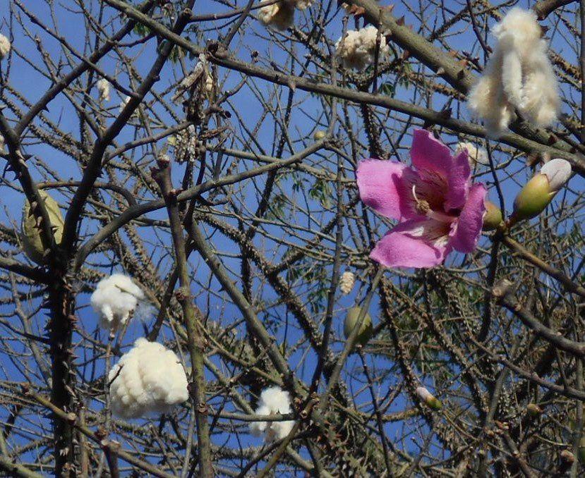 De nouvelles photos du bois-coton : Kapokier, les épines de la douceur, les fleurs aussi
