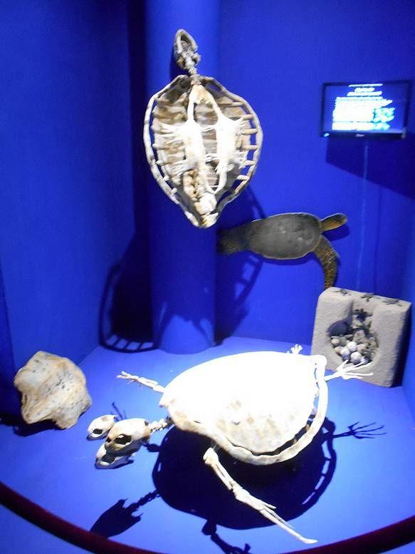 Avec le musée de la baleine de La Paz, sauver le plus petit des cétacés ! (4)