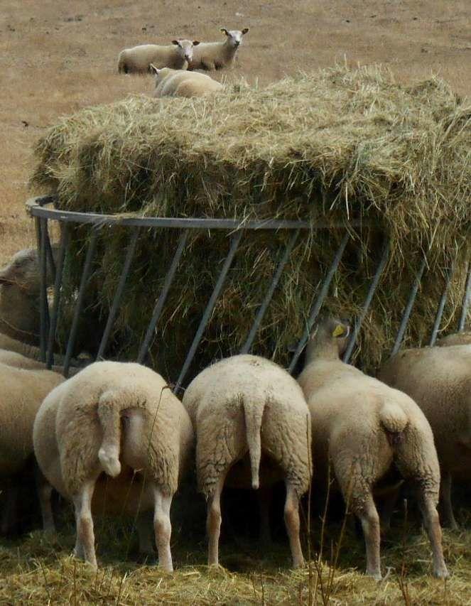 Les moutons à table !