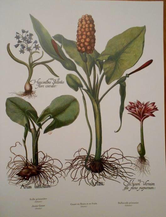 Pour les amoureux des plantes : le florilège de Basilius Besler (16e/17e siècles)