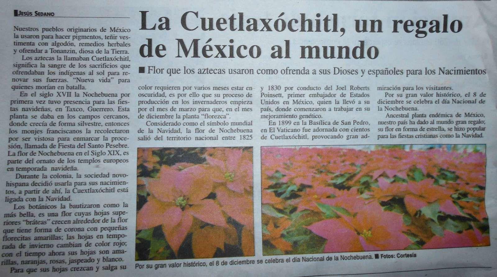 Retour sur : La fleur de la Noche Buena colorée ... par une histoire d'amour remontant aux Aztèques ?