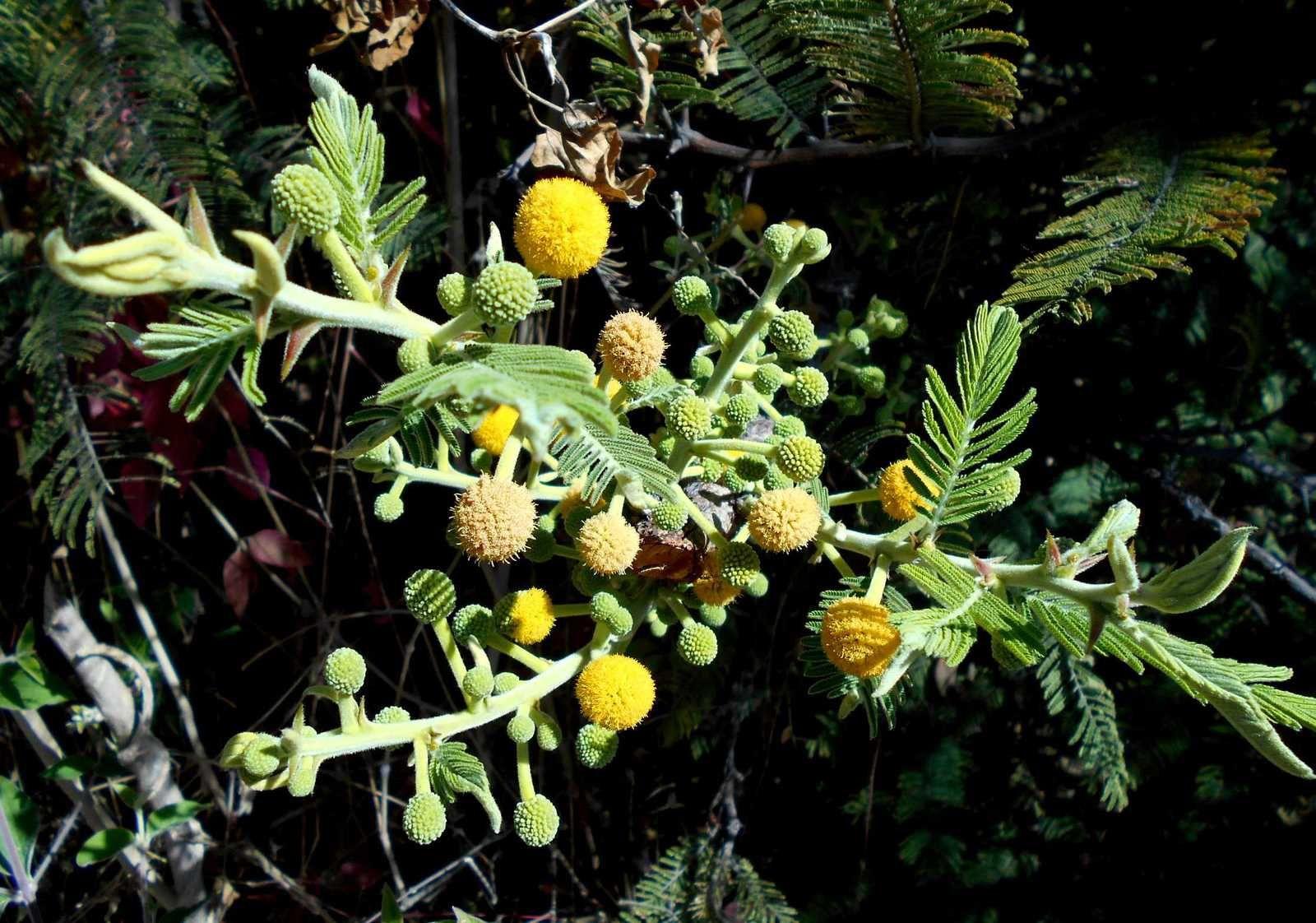 Zoom sur un mimosa mexicain