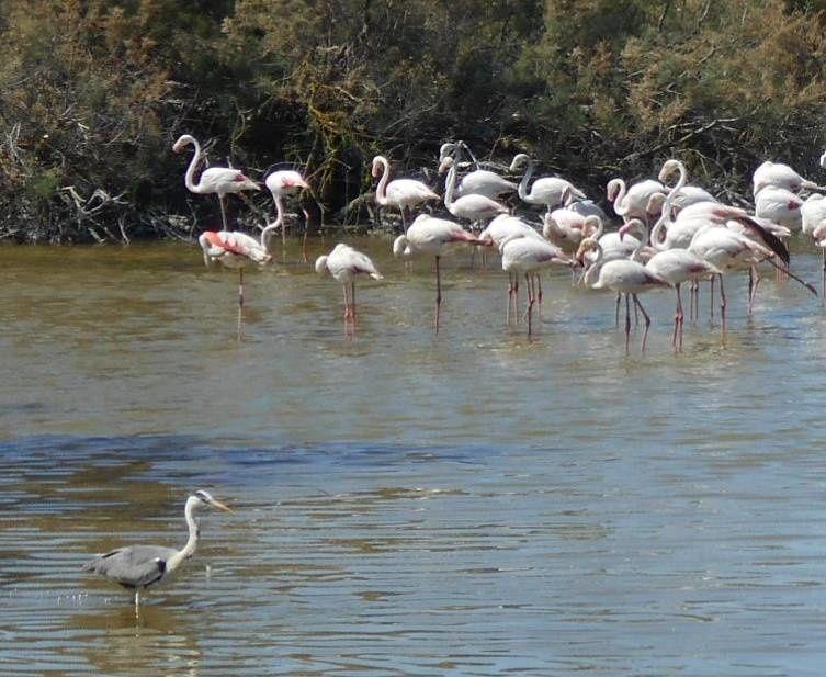 En Camargue les flamants du parc ornithologique de Pont de Gau