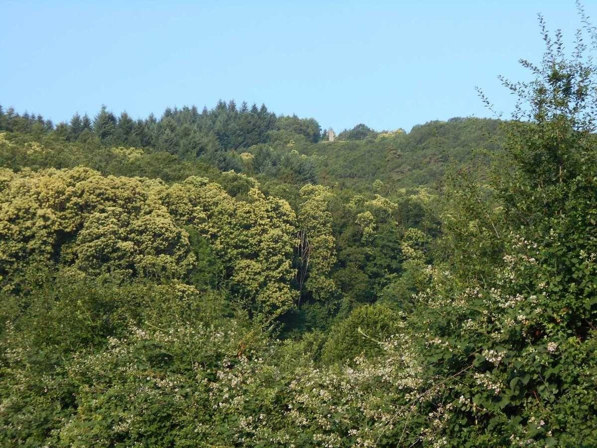 Les châtaigniers en fleurs sur les pentes de la montagne d'Autun