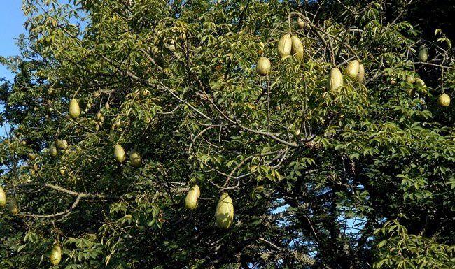 Devinette : allez-vous reconnaître cet arbre ?