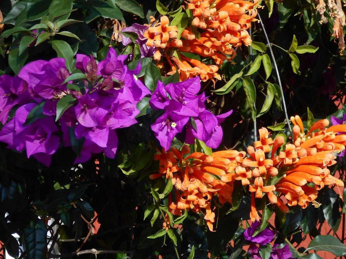 Fleurs de Cuernavaca :  la continuation d'un éternel printemps