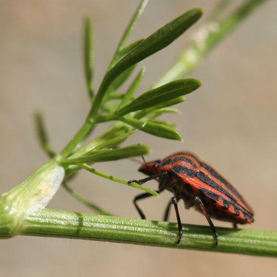 Pentatome rayé, Graphosoma lineatum (L.),2011 © Barbara Mai