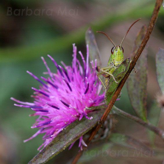 Sauterelles (Tettigoniidae), 2011 © Barbara Mai