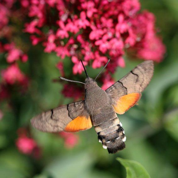 Moro-sphinx, Macroglossum stellatarum (L.), 2011 © Barbara Mai