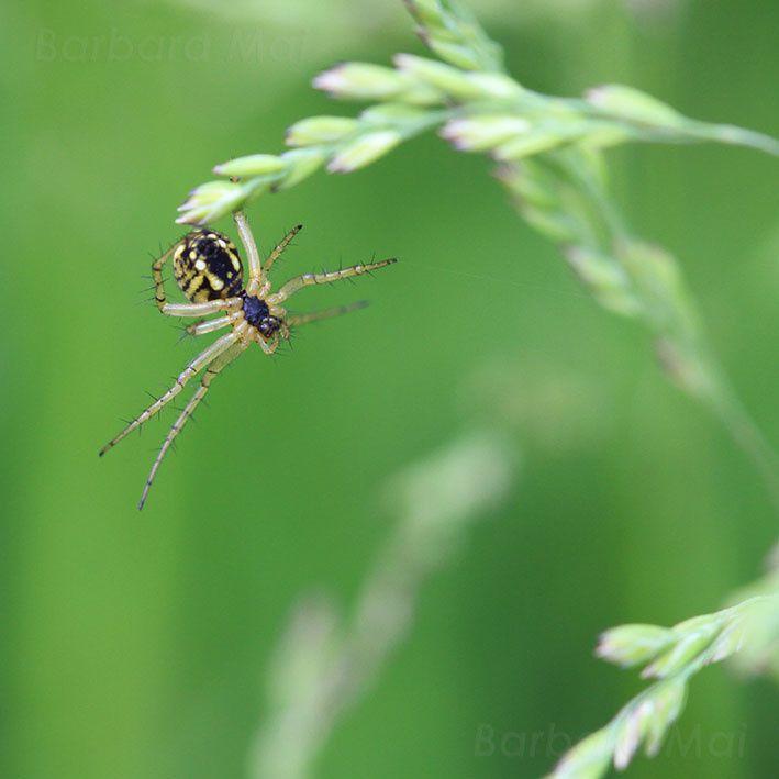 Araignée jaune & noire, 2012 © Barbara Mai