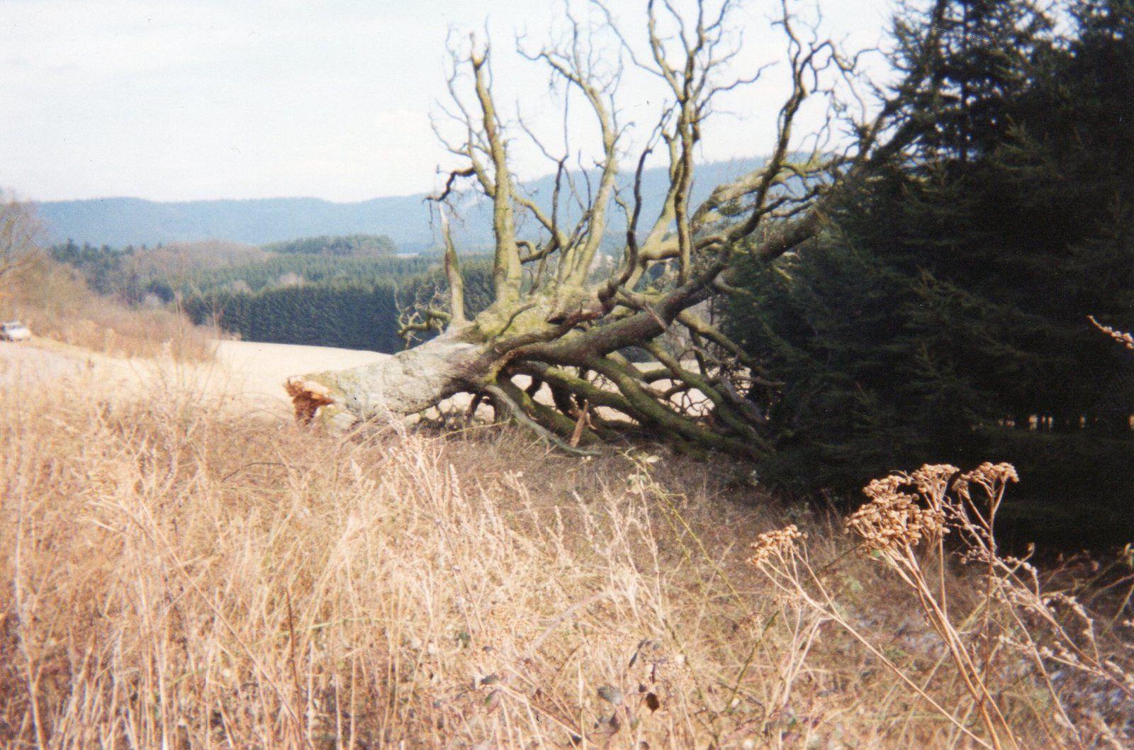 Le Gros Chêne de Vervezelle a vécu. Photos Alain Bohuon