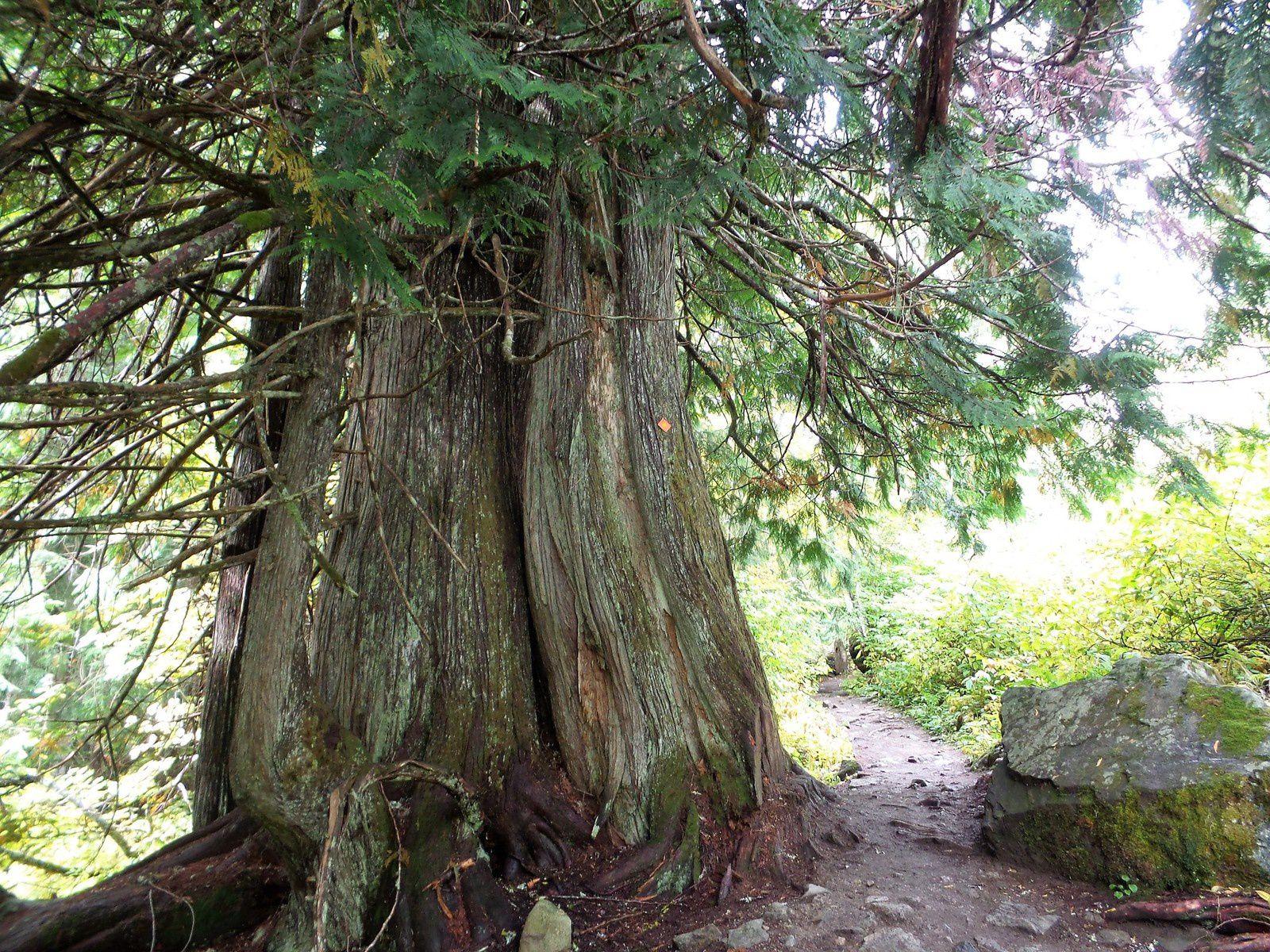 Les arbres gigantesques sont magnifiques et nous apercevons enfin le lac Cheakamus