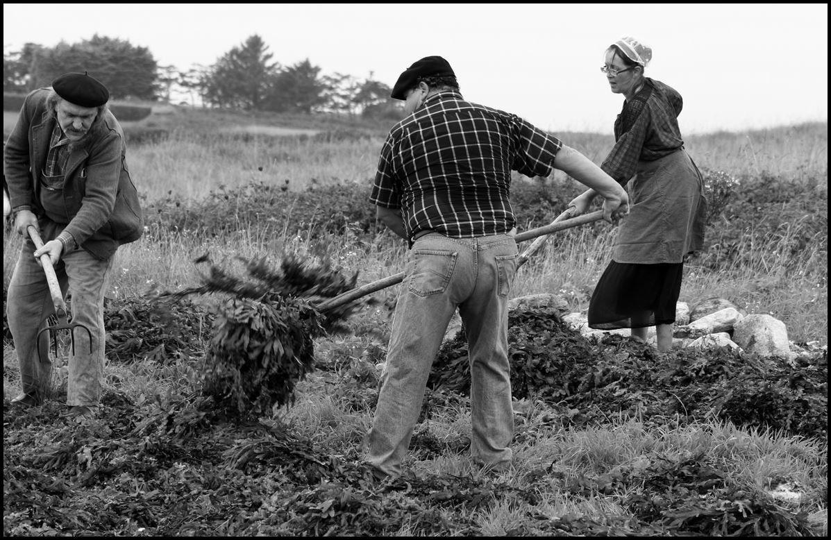 Reconstitution d'une récolte de goêmon au début du 20e siècle.