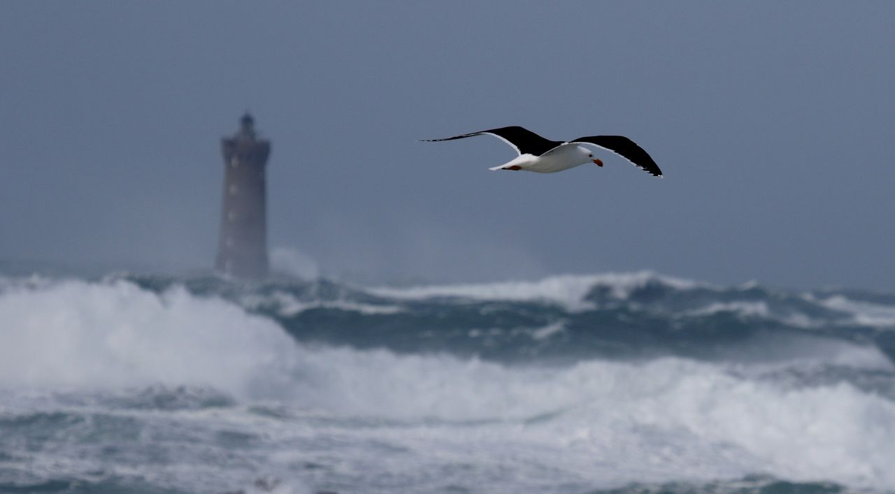 Goéland brun devant le phare du Four