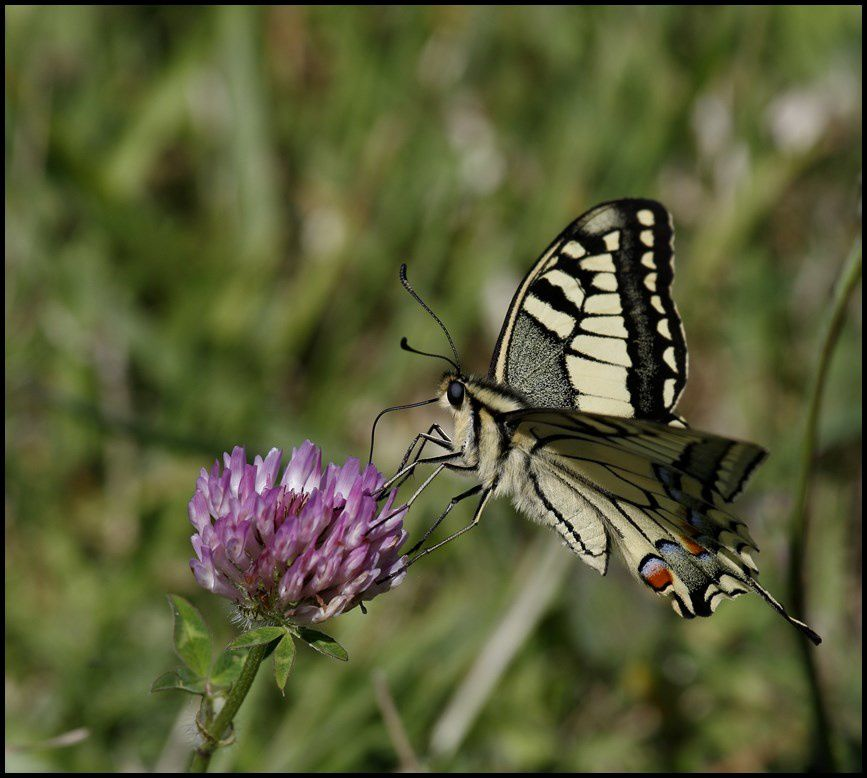 Le Machaon ( ou Grand porte-queue)