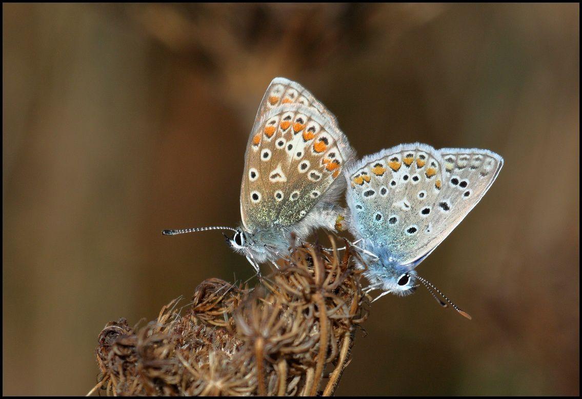 Accouplement d'argus bleus