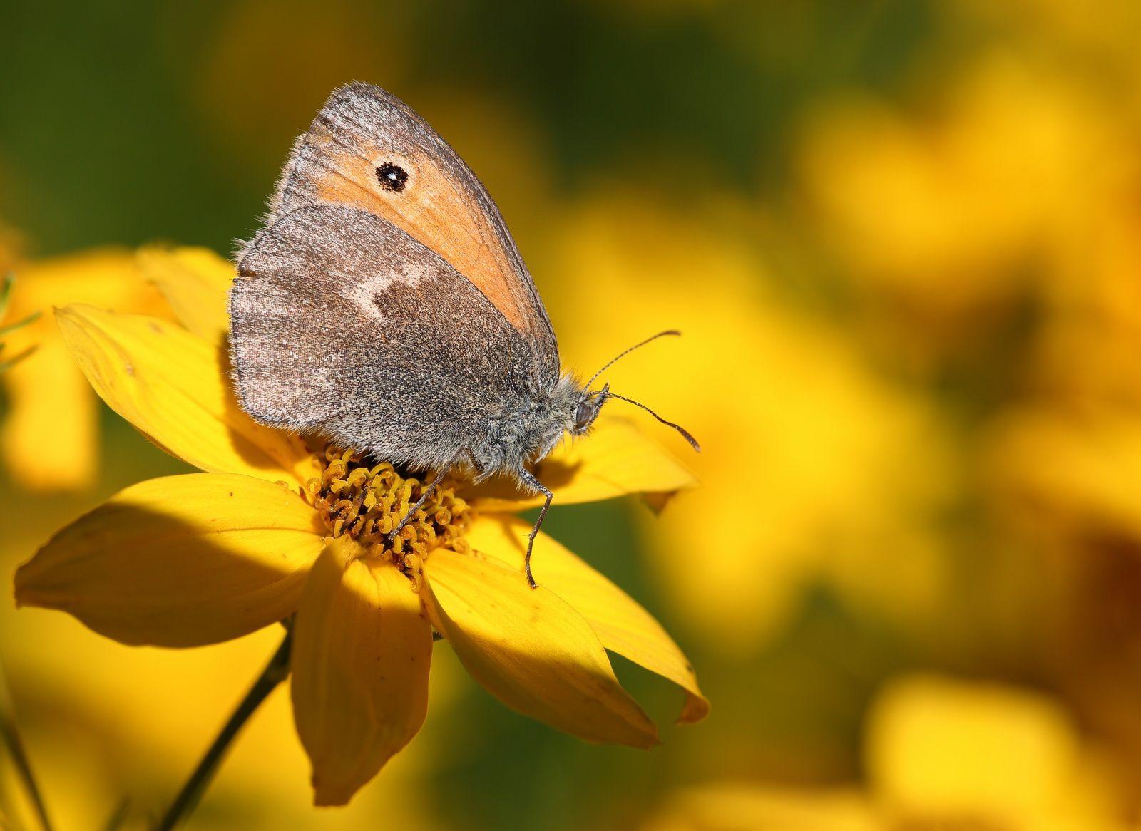 Papillons, libellules ... en Lorraine.