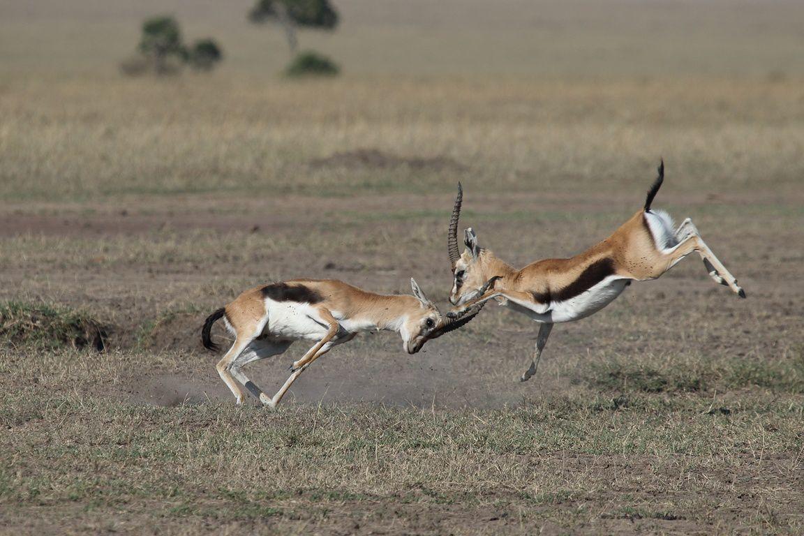 Vies sauvages au Masai Mara !
