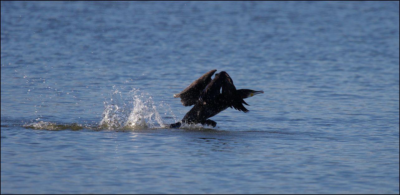 Décollage du cormoran...